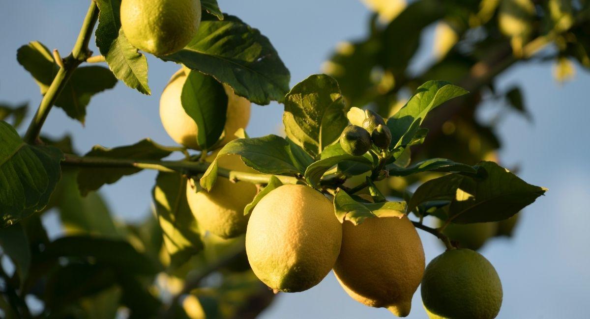 Cómo plantar un limón en un vaso: Haga que su hogar huela fresco y mejore su estado de ánimo